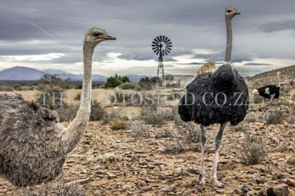 Karoo ostrich and windmill
