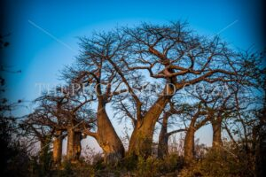 Baobab trees in the desert