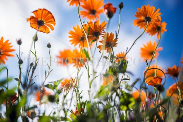 Namaqualand daisies photographed in the West-Coast