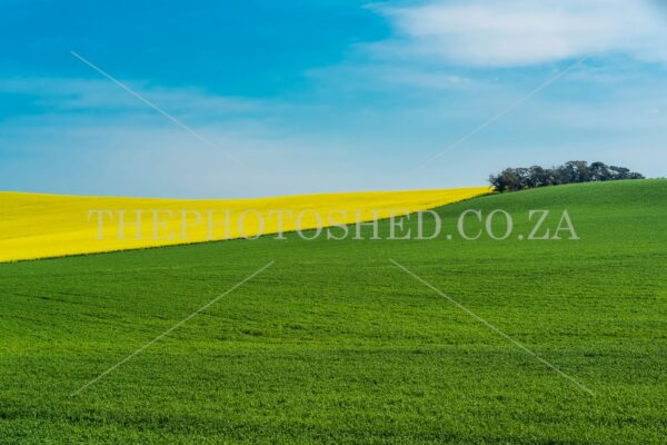 Canola fields with bright yellow flowers