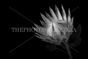 Protea Grande (Facing Right)