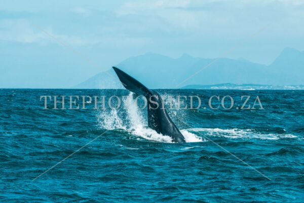 Whale Tail Hermanus