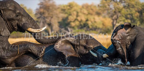 Three Elephants Swimming Foot Up