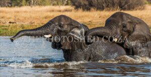 Two elephants swimming in the river