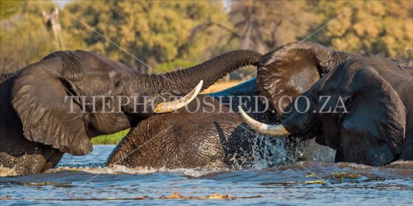 Three Elephants Swimming in the river