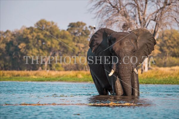 thephotoshed,the photo shed,photo shed,photography,african bush,big five,elephant,elephant matriarch,bush,bushveld,wild animal,tusks,watering hole