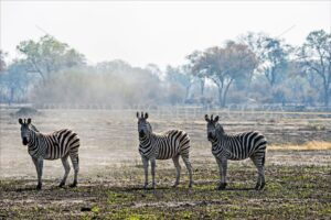 Three zebras in a row
