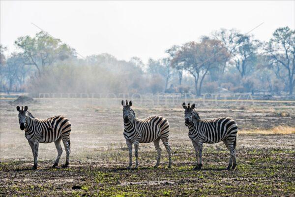 Three zebras in a row