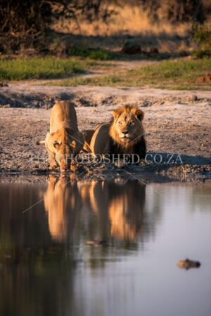 thephotoshed,lions,lions drinking,thirsty lions,big five,lioness,bush,african bush,bushveld,