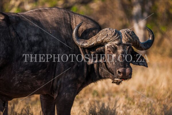 busveld, wild animals,africa,bufallo,oxpecker,the photo shed,thephotoshed,african bush,bush,big five