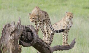 Cheetah Brothers,cheetahs,bushveld,african bush,wildlife photography,nature,nature photography