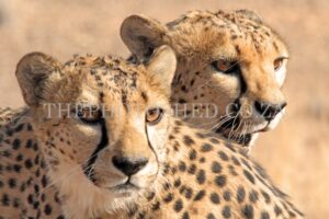 Close up and personal - Cheetah brothers