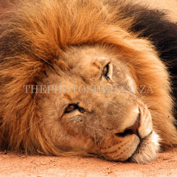 Lion Portrait - Addo Elephant Park
