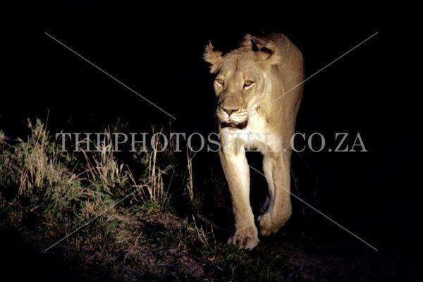 Lioness - Kruger National Park
