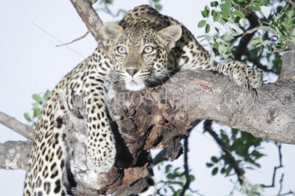 Resting Leopard - Kruger National Park