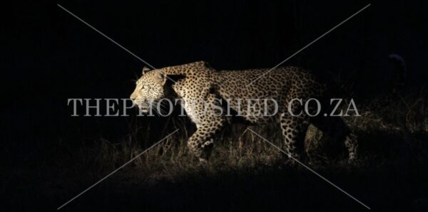 Stalking Leopard - Night Hunting