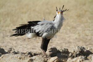 Standing to attention - Secretarybird in the Kaglahadi