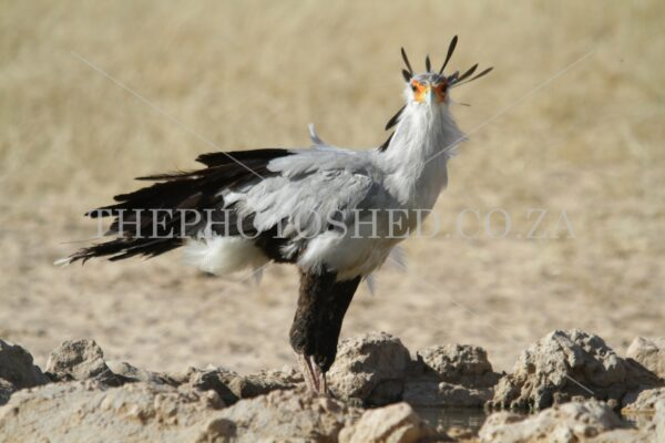 Standing to attention - Secretarybird in the Kaglahadi