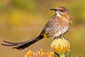 Sunbird - Sunbird on a Protea