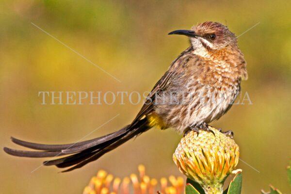 Sunbird - Sunbird on a Protea