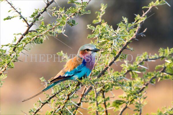 Roller Bird in a tree