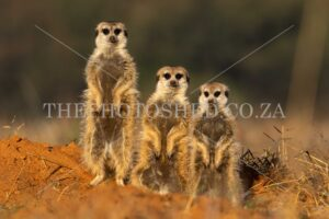 Free State, South Africa. Three of a kind. Suricate familyMom, dad and sibling