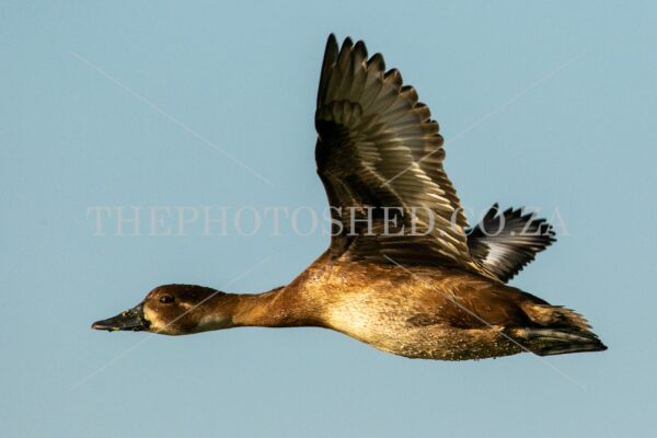 Southern Pochard flyby. Southern Pochard. Waterfowl. In flight. Waterdrops