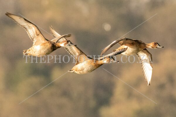 Three Southern Pochards in flight. Free State, South Africa. Waterfowl. In flight. Three of a kind