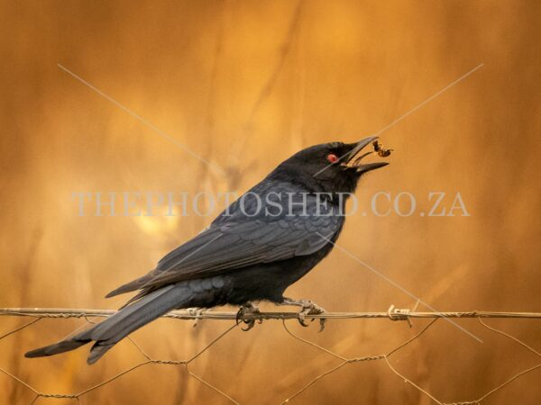 Fork-tailed Drongo. Free State, South Africa.Bird of prey. Feeding. Bee