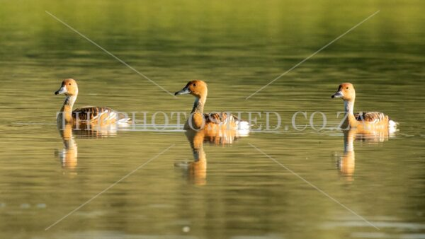 Free State, South Africa. Waterfowl. Golden hour. Three Fulvous Whistling ducks