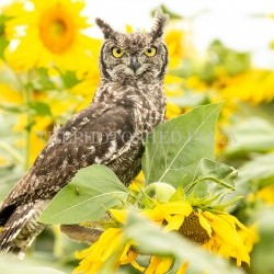 Free State, South Africa. Spotted Eagle-Owl. Spotted Eagle-Owl in Sunflower field. Bird of prey. Sunflower field
