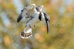 Pied Kingfisher. Free State, South Africa. Bird of prey