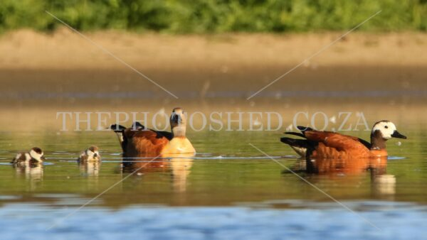 Free State, South Africa. South African Shelduck Family. Duckling Male, female and duckling. Waterfowl. South African Shelduck with duckling.