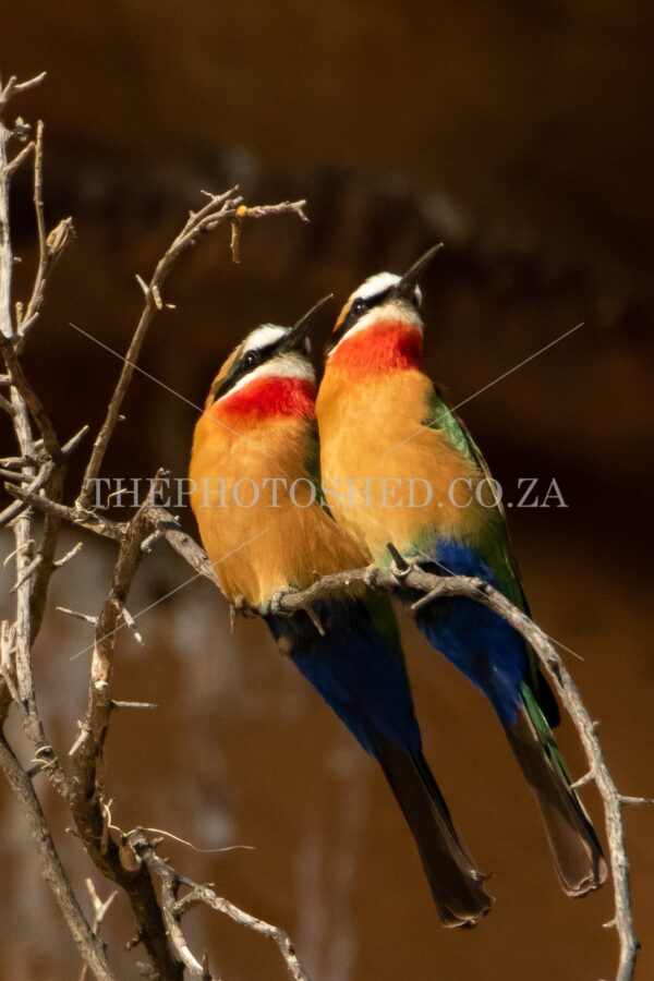 Pair of Bee-Eaters. Free State, South Africa. White-fronted bee-eater. Colourful, Two of a kind