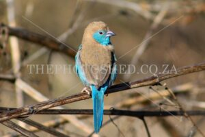 Birds. Blue waxbill. Curious Blue waxbill looking backward. Free State, South Africa. Little bird. Blue waxbill looking back