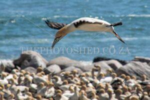 Cape Gannet looking for nest Lambertsbay, Western Cape, South Africa. Breeding Colony. In flight