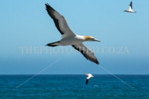 Cape Gannet. Breeding colony. In flight