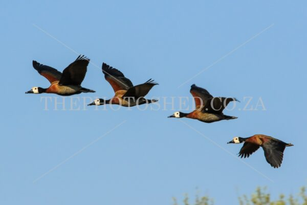In flight. Four in a row. Different wing position. Waterfowl. White-faced whistling duck. Four whistling ducks in flight
