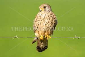 Free State, South Africa. Bird of prey. Female lesser kestrel sitting on a wire