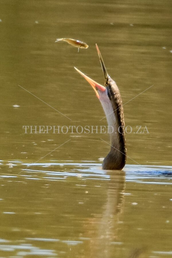 African Darter Feeding. Bird of prey