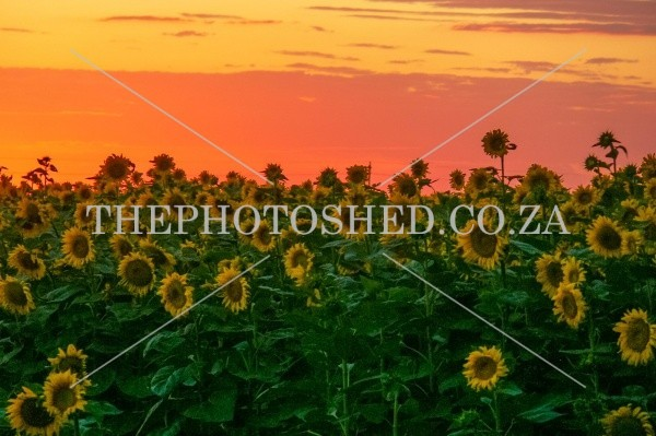 Sunflower field. Free State, South Africa. Agriculture. Golden hour