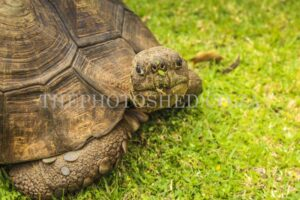 Tortoise eating close up. Gauteng, South Africa.