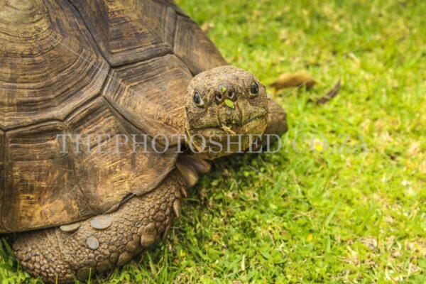 Tortoise eating close up. Gauteng, South Africa.