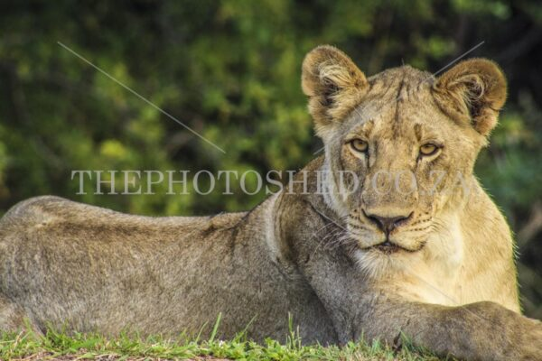 Female Lion,,Close up,Female,Gauteng,Lion,Wildlife