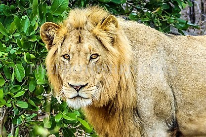 Male Lion.Lion.Male.Mpumalanga.Wildlife