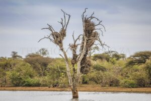 Tree in water. Landscapes. Mpumalanga. Nature.Nest in tree. Scenic. Tall