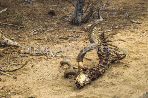 Kudu Skeleton with horns. Mpumalanga South Africa