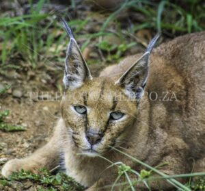 Close-up portrait of a female caracal