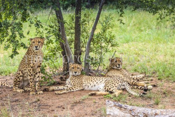 Portrait of 3 Cheetahs resting