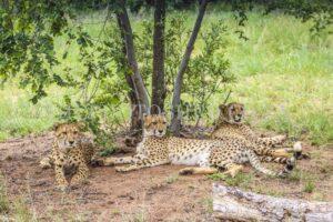 Portrait of three Cheetahs resting